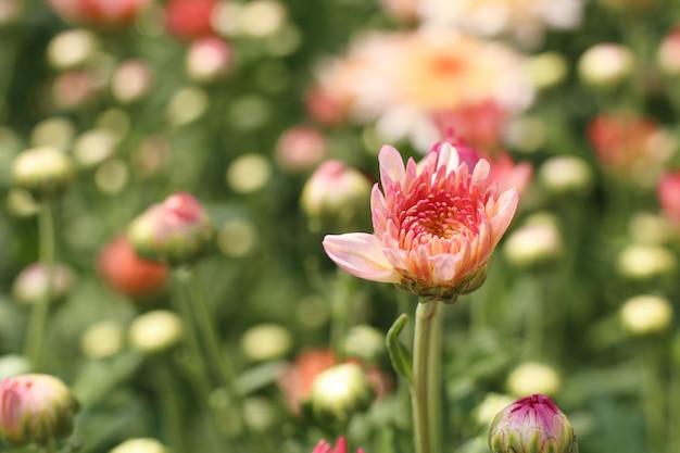 Fleur de chrysanthème en tropical Photo Premium