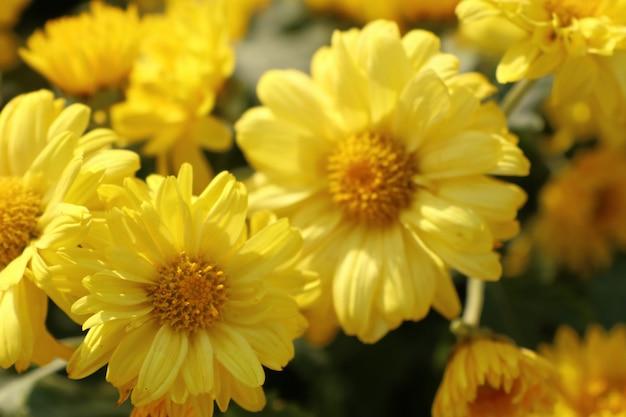 Fleur de chrysanthème à vendre Photo Premium