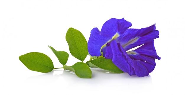 Fleur de clitoria ternatea ou aparajita isolé sur fond blanc Photo Premium