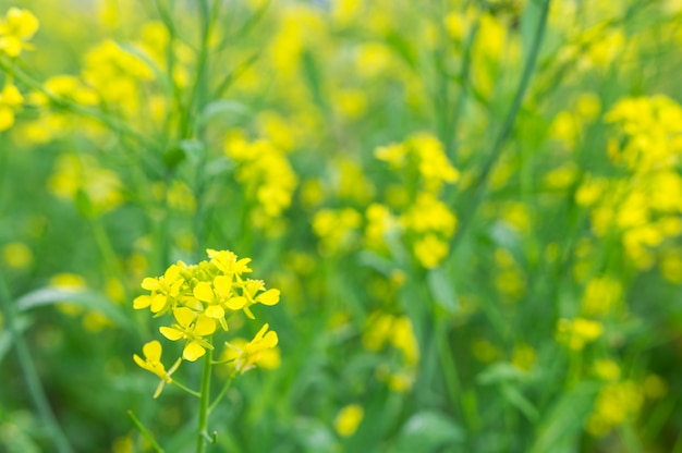 Fleur de colza jaune Photo Premium