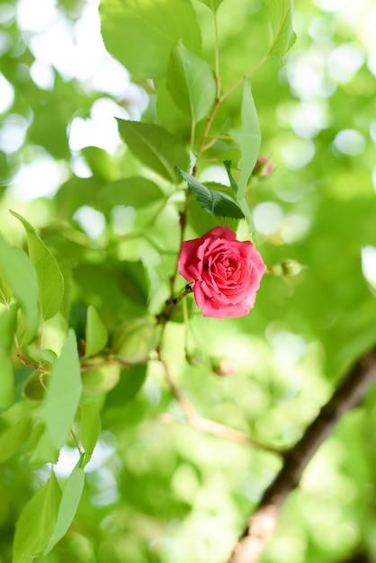 Fleur de corail rose dans un jardin de roses Photo Premium