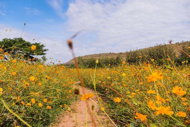 Fleur de cosmos belle floraison jaune avec nuages et ciel bleu. Photo Premium