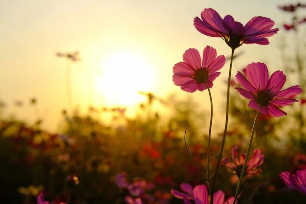 Fleur de cosmos de champ. Photo Premium