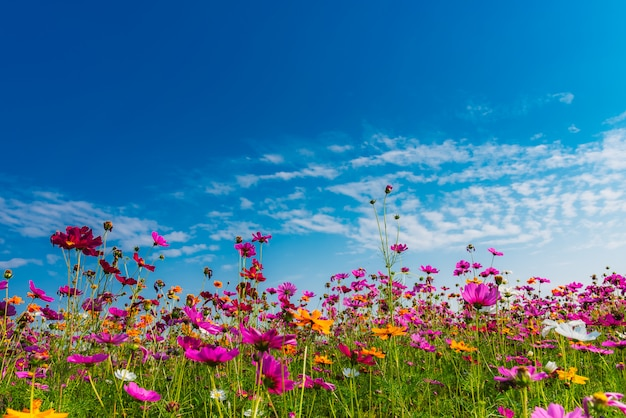 Fleur cosmos avec ciel bleu et nuages blancs. Photo Premium