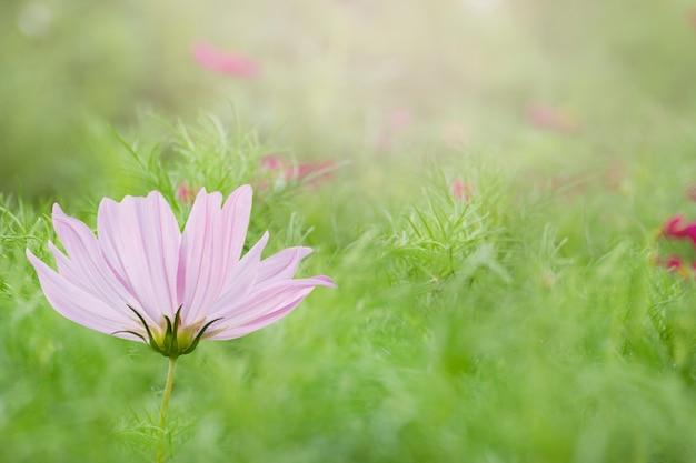 Fleur de cosmos dans le jardin Photo Premium
