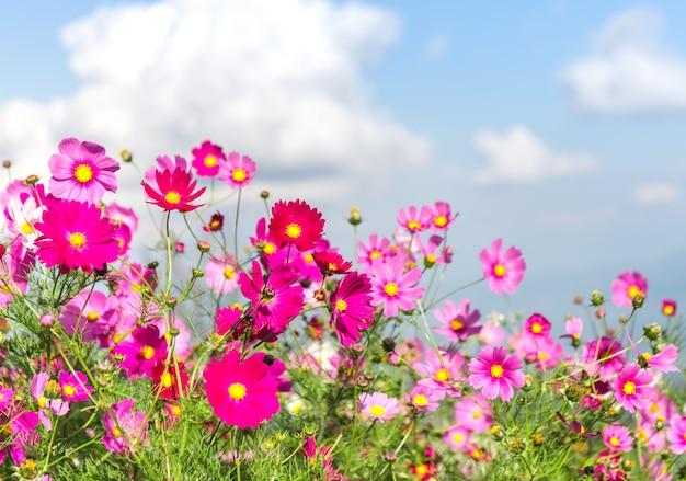 Fleur cosmos rose Photo Premium