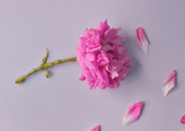 Fleur Coupée Par Un Rose Fuchsia Rosebuch Avec Un Fond De Pétales à Double Fleur Photo Premium