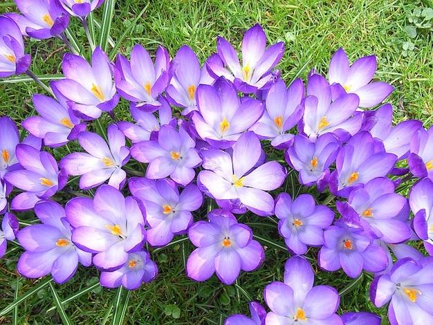 Fleur de crocus au printemps violette t l charger des photos gratuitement - Image fleur violette gratuite ...