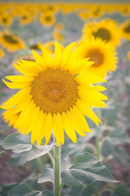 Une fleur du soleil dans un champ de tournesols Photo Premium