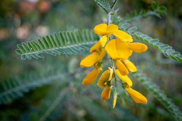 La Fleur De Fleur De Sesbania Jaune Peut être Utilisée Pour Préparer Des Aliments Et Des Desserts Photo Premium
