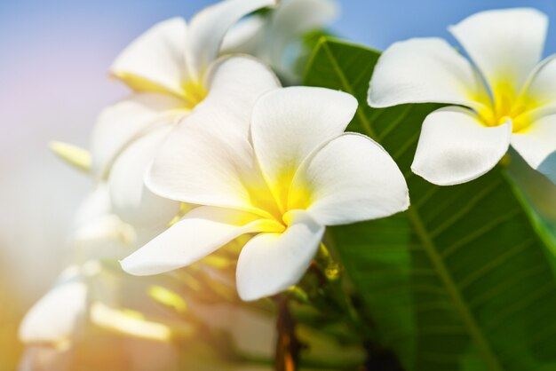 Fleur de frangipanier blanc ou fleur de plumeria blanc en fleurs Photo Premium
