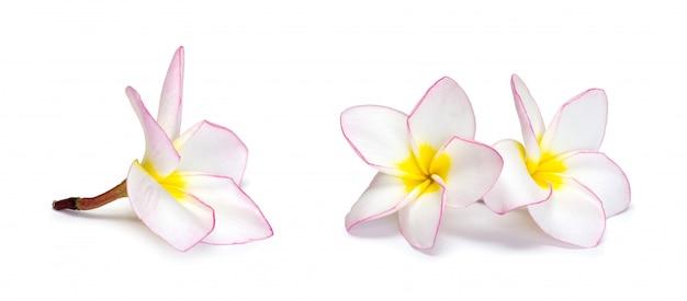 Fleur De Frangipanier Sur Blanc Photo Premium