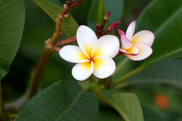 Fleur De Frangipanier Tropical Spa Plumeria Fleur Sur Plante