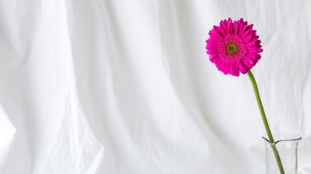 Fleur de gerbera simple rose devant un rideau blanc Photo gratuit