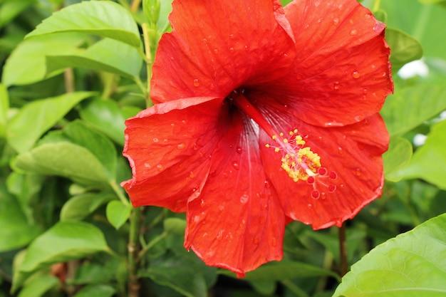 Fleur d'hibiscus au beau dans la nature Photo Premium