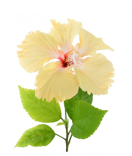 Fleur D'hibiscus Jaune Isolé Sur Fond Blanc Photo Premium