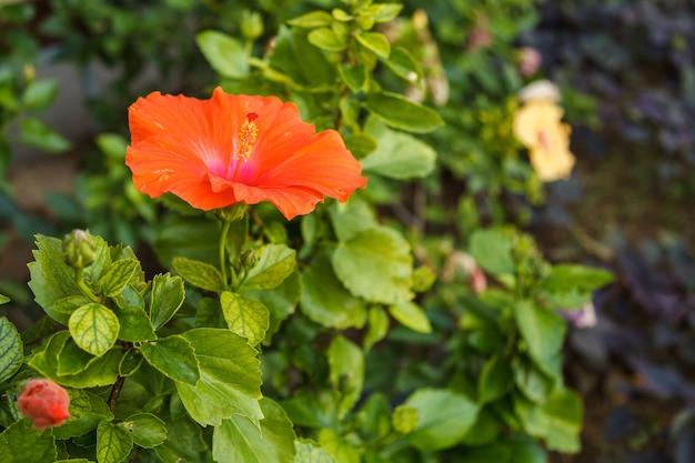 Fleur d'hibiscus rouge sur jardin tropical Photo Premium