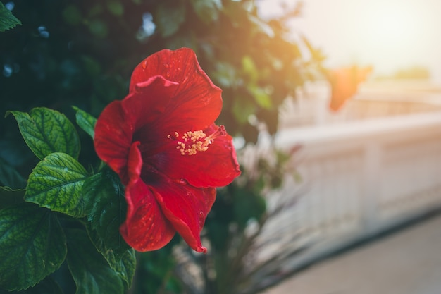 Fleur d'hibiscus rouge avec la lumière du soleil du matin avec un espace pour le texte Photo Premium