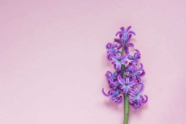 Fleur hyacint rose sur fond rose pastel. lay plat, vue de dessus, espace de copie Photo Premium