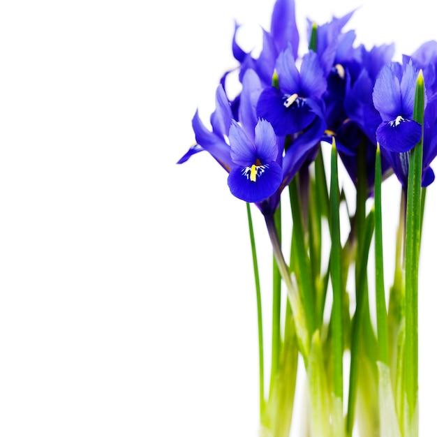 Fleur D'iris Violet Foncé Photo Premium