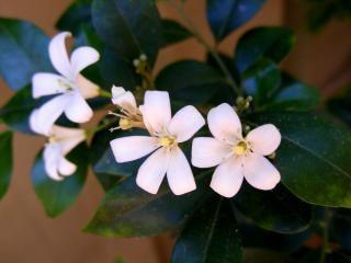 Fleur De Jasmin Blanc Telecharger Des Photos Gratuitement