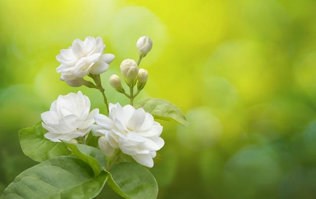 Fleur de jasmin sur verdure Photo Premium