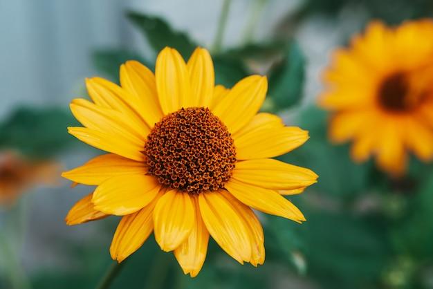 Fleur jaune juteuse colorée au centre orange et aux pétales purs agréables et éclatants Photo Premium