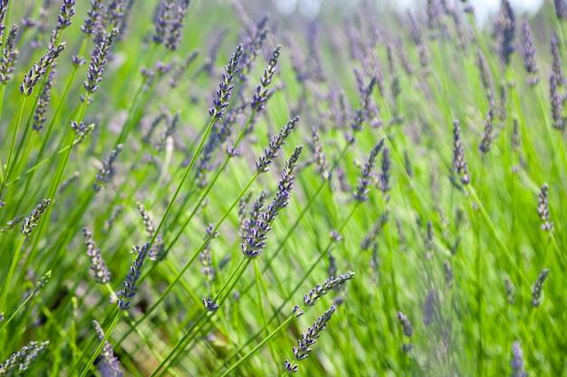 Fleur De Lavande Dans Le Jardin De Fleurs Photo Premium