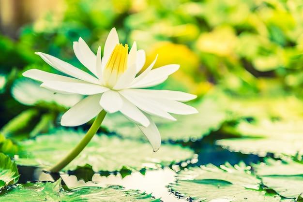 Fleur de lotus blanche Photo gratuit