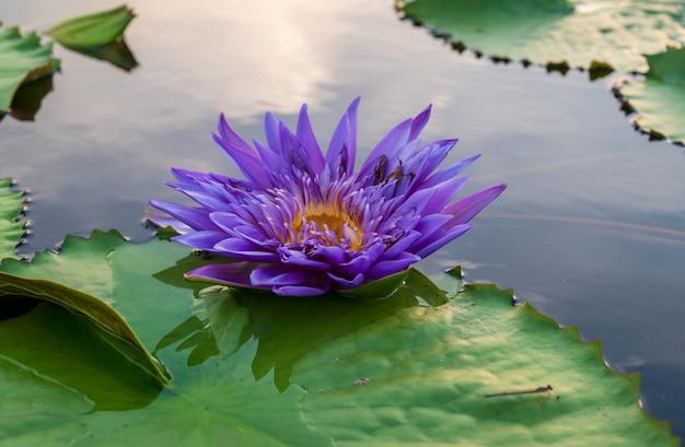 Fleur de lotus dans l'étang. Photo Premium
