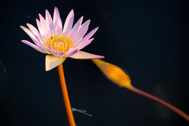 Fleur de lotus sur fond noir Photo Premium