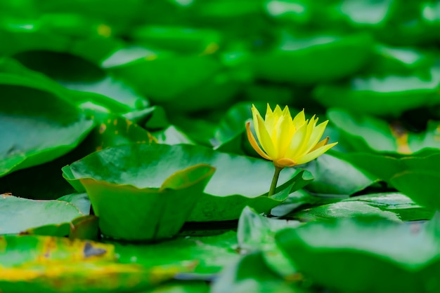 Fleur De Lotus Jaune En Fleurs Avec De Nombreuses Feuilles Vertes Dans L'étang. Fleur Vibrante Au Flou. Paysages Exotiques. Photo gratuit