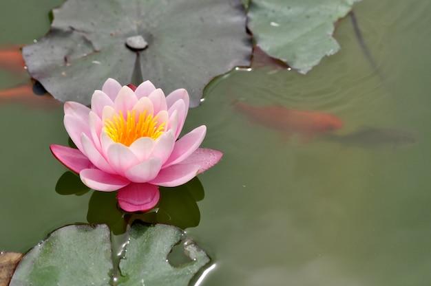 Fleur De Nénuphar Rose Qui Fleurit Dans L'étang Avec Nage Poisson Koi Photo Premium