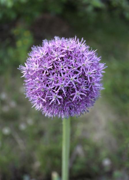 Fleur oignon bleu Photo Premium
