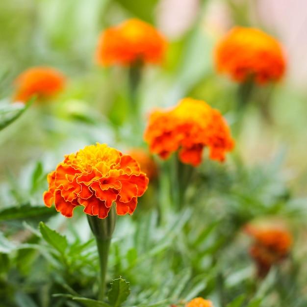 Fleur d'oranger Photo Premium