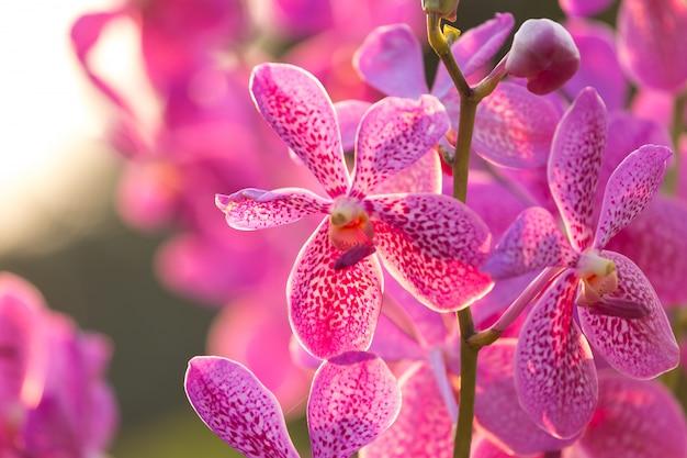Fleur d'orchidée rose Photo Premium