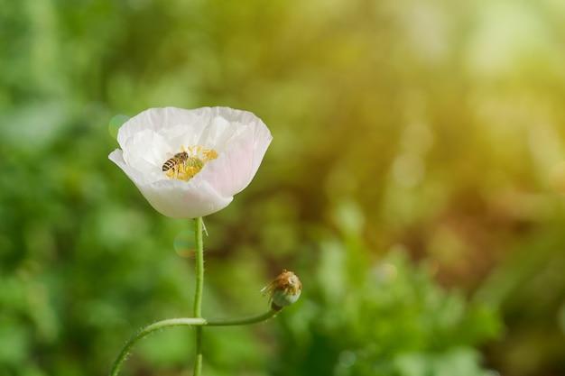 Fleur de pavot avec une abeille pollinisatrice dans le jardin. Photo Premium