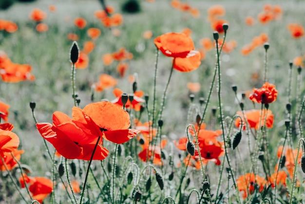 Fleur pavot fond de floraison Photo Premium