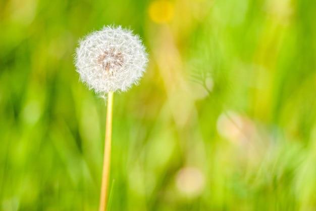 Fleur De Pissenlit Dans Le Jardin Par Une Journée Ensoleillée Photo gratuit