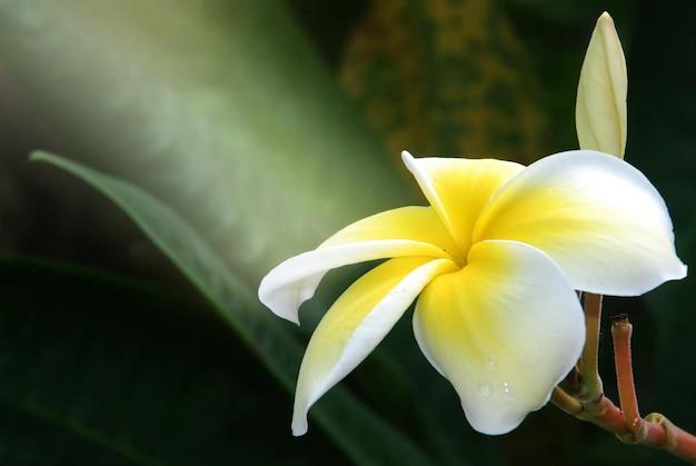 Fleur de plumeria en fleurs sur l'arbre. Photo Premium