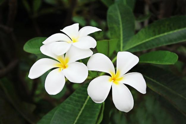 Fleur de plumeria (frangipanier) Photo Premium