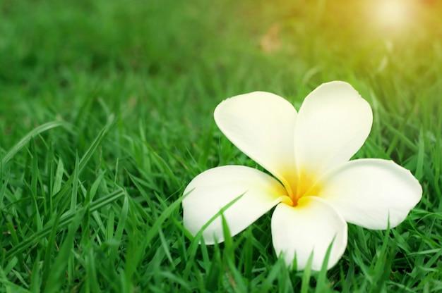 Fleur de plumeria jaune blanc (frangipanier) avec la lumière du soleil sur l'herbe verte Photo Premium
