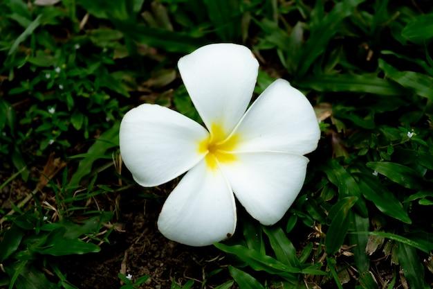 Fleur de plumeria Photo Premium
