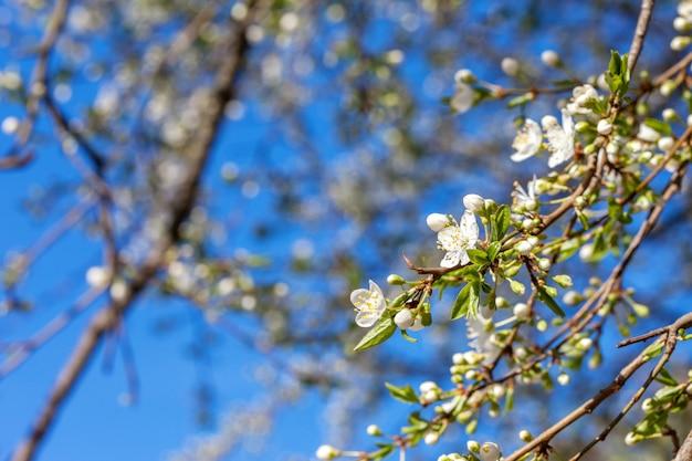 Fleur de pommier et ciel bleu. espace de copie Photo Premium