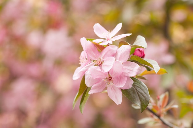 Fleur de pommier en fleurs chinoise. bouton rose sur une branche de pommier en floraison printanière. Photo Premium