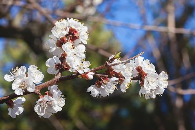 Fleur de pommier se bouchent Photo Premium