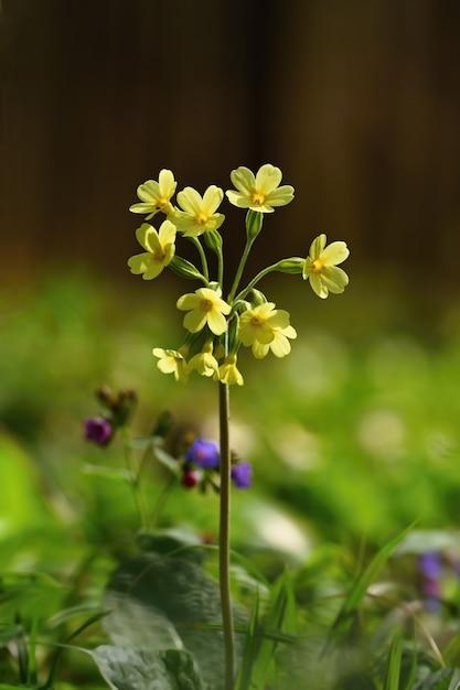 Fleur de primevère (primula veris). belle fleur de printemps Photo gratuit