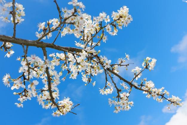Fleur de printemps blanc sur ciel bleu Photo Premium
