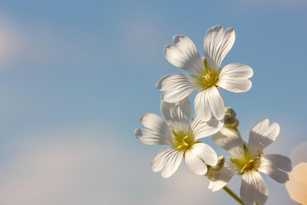 Fleur de printemps blanc sur fond de ciel bleu Photo Premium