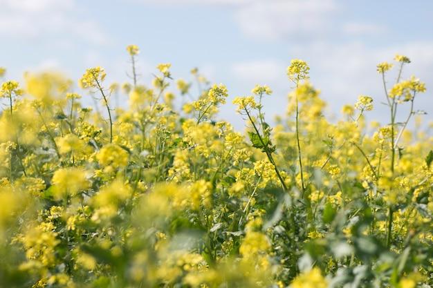 Fleur de rapase (brassica napus) Photo Premium
